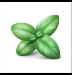 basil leaves isolated on white background vector image vector image