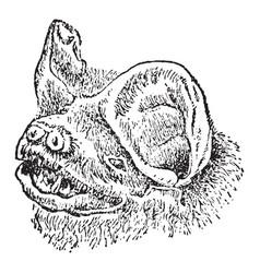 Head of mastiff bat vintage vector
