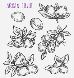 branches with leaf of argan tree vegetarian food vector image