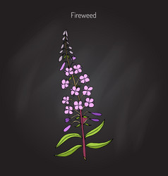 Fireweed chamerion angustifolium vector