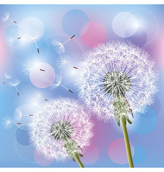 Flowers dandelions on light background vector image