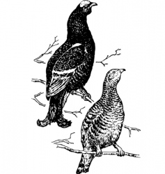 bird lyrurus vector image