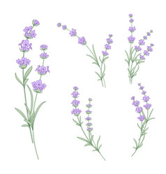 set of lavender flowers elements vector image vector image