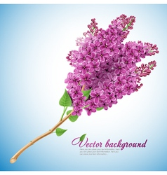 Blooming lilacs vector image vector image