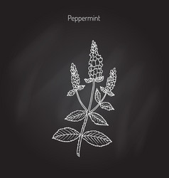 peppermint culinary herb vector image