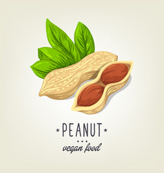 sketch of realistic peanut with leaves and vector image vector image