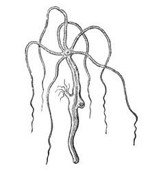 Hydra vulgaris vintage vector
