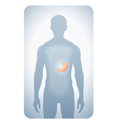 stomach highlighted vector image vector image