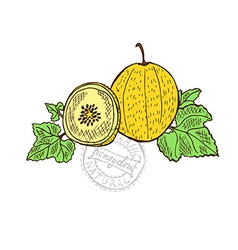 Hand drawn honeydew fruits vector