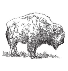 bison hand drawing vector image