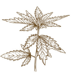 Engraving of cannabis leaf vector