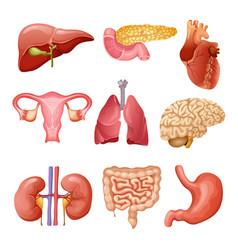 Cartoon human organs set vector