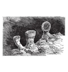 caryophyllia cyathus vintage vector image vector image