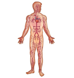Arteries in the human body vector image vector image