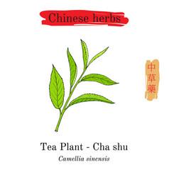 medicinal herbs of china tea plant camellia vector image vector image