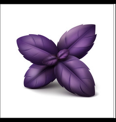 Purple basil leaves on white background vector