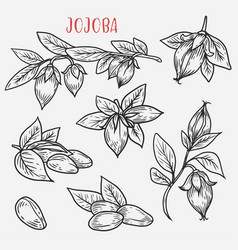 Sketches of jojoba stem with leaves and nut vector