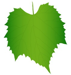 Green grape leaf vector