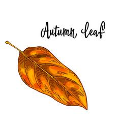 autumn yellow orange leaf isolated on white vector image