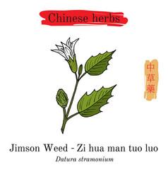 medicinal herbs of china jimson weed datura vector image vector image