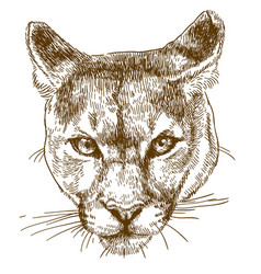 engraving of cougar head vector image vector image