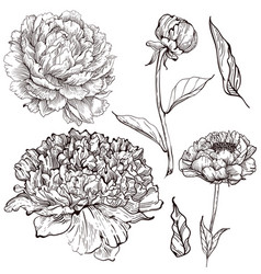 ink peony vector image