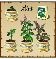 Stage of plant growth mint in a pot vector