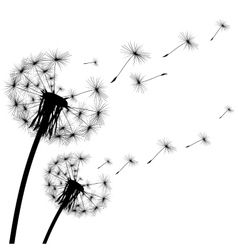 black silhouette of a dandelion on white vector image vector image