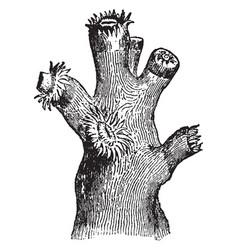 Dendrophyllia ramea with polypi vintage vector