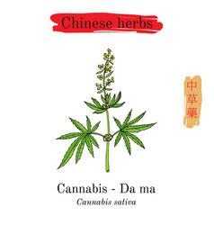 Medicinal herbs of china safflower carthamus vector