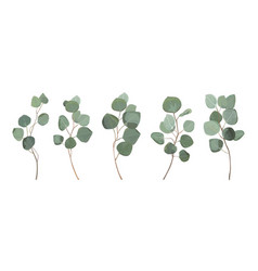 eucalyptus tree green branches leaves element set vector image