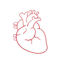 Human heart draw vector