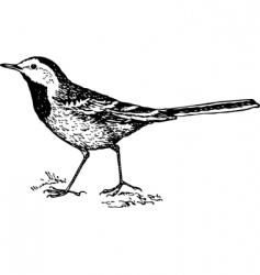 Bird white wagtail motacilla vector
