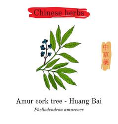 Medicinal herbs of china amur cork tree vector