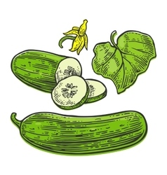 Fresh green cucumbers - whole half slices leaf vector