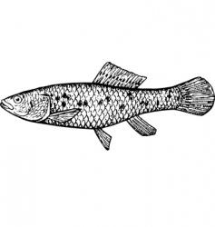 fish ubmra krameri vector image