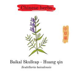 medicinal herbs of china baikal skullcap vector image vector image