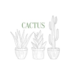 Three tall cacti in pots hand drawn realistic vector