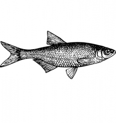 Fish alburnus vector