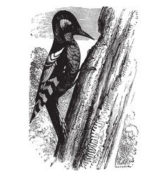 Great spotted woodpecker vintage vector