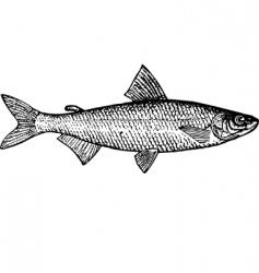 fish coregonus tugun vector image vector image