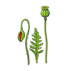 Poppy flower stem closed bud leaf set vector