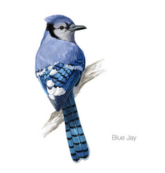 Blue jay hand drawn vector