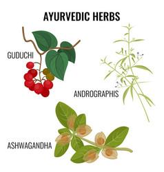 ashwagandha guduchi cordifolia andrographis vector image vector image