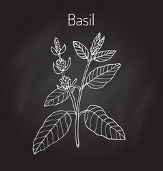 basil culinary herb vector image