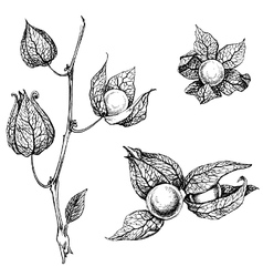 Artistic sketch of physalis vector image