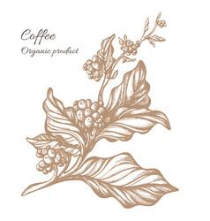 coffee branch sketch 2 vector image vector image