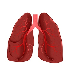 lungs anatomy vector image