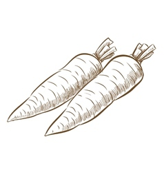 Picture of carrot vector