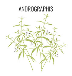 andrographis flowering plant isolated on white vector image vector image